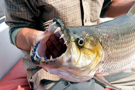 Σαρκοβόρο ψάρι τέρας τρώει πάπια 01