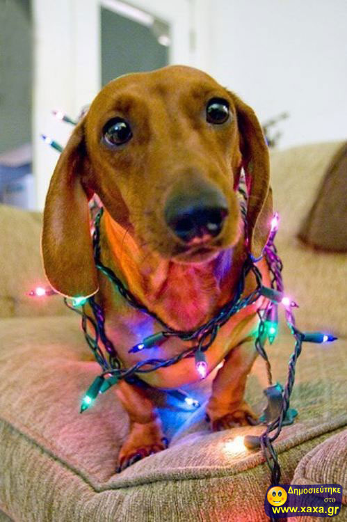 Καλά Χριστούγεννα και καλή χρονία από αυτά τα απίθανα σκυλιά (2)