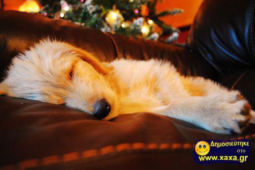 Καλά Χριστούγεννα και καλή χρονία από αυτά τα απίθανα σκυλιά (7)