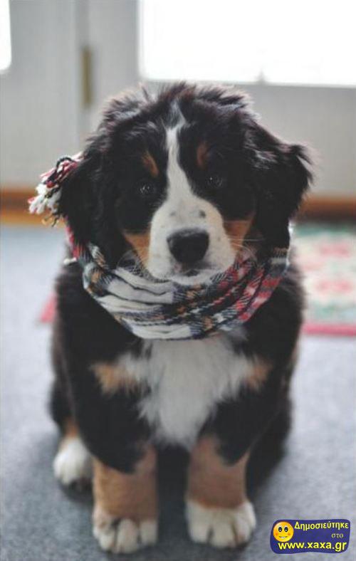 Καλά Χριστούγεννα και καλή χρονία από αυτά τα απίθανα σκυλιά (8)