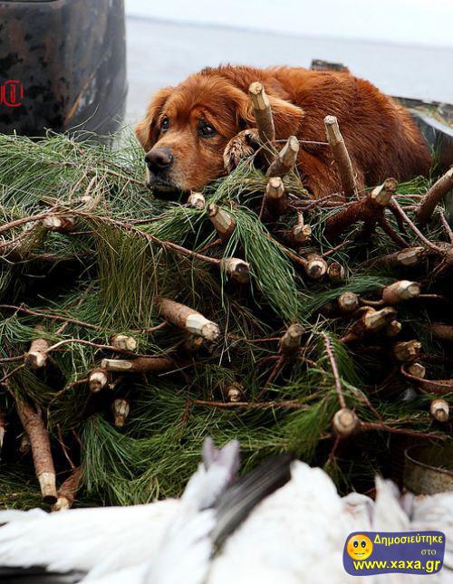 Καλά Χριστούγεννα και καλή χρονία από αυτά τα απίθανα σκυλιά (10)
